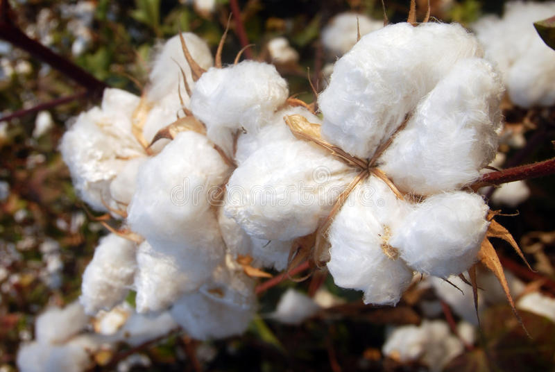 Download Cotton Tree stock photo. Image of nature, organic, mediterranean - 24921486