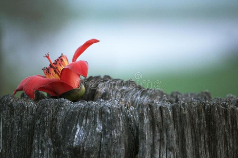 Red flowers are placed on the wood stock photography