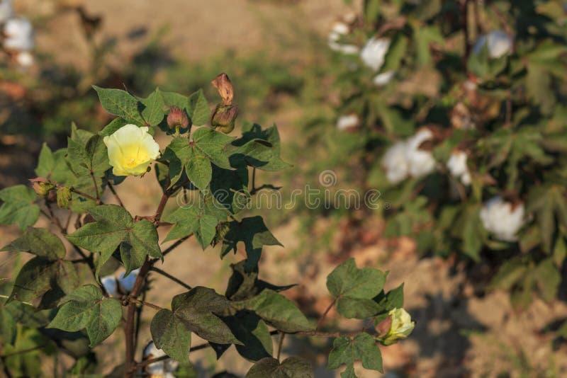 Cotton yellow flower. On field at autumn time Turkey near Izmir stock photography