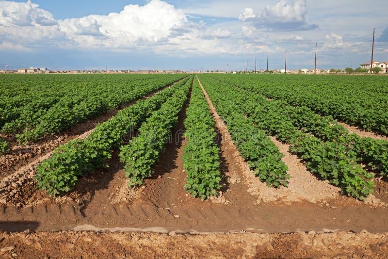 cottonfield στοκ εικόνα με δικαίωμα ελεύθερης χρήσης