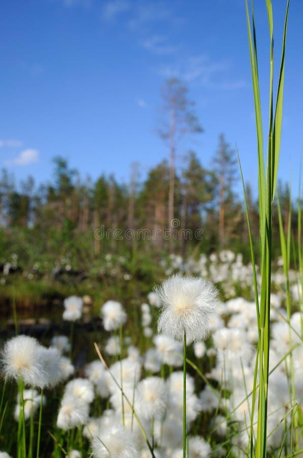 Cottongrass. foto de archivo