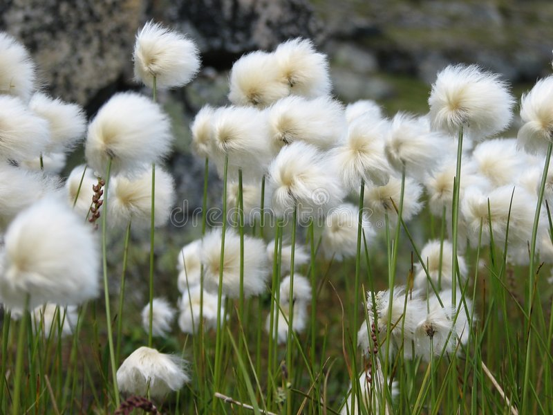 Cottongrass photo stock