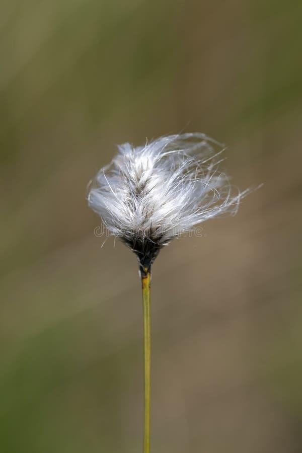 Cottongrass de touffe photo stock