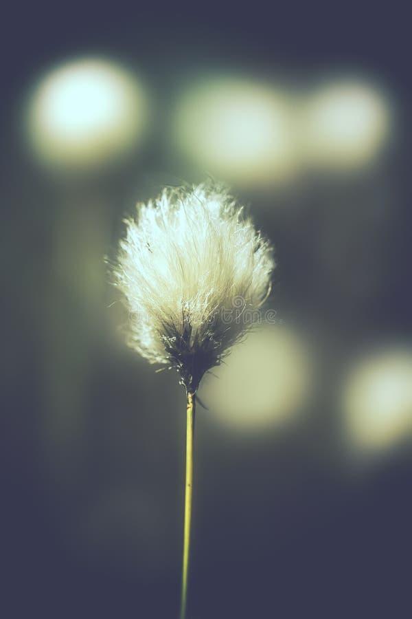 Cottongrass de touffe - vintage photos stock