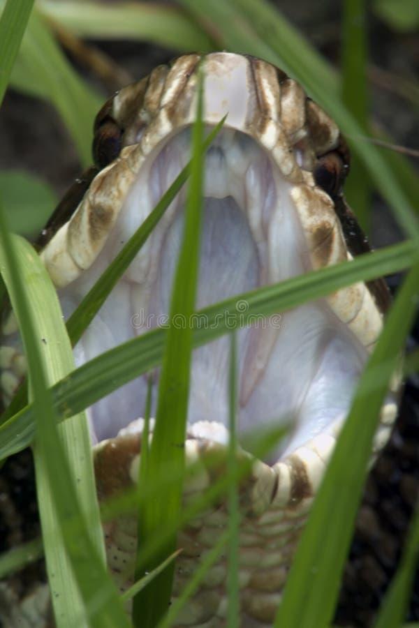Cottonmouth som är klar att slå, södra Florida arkivfoto