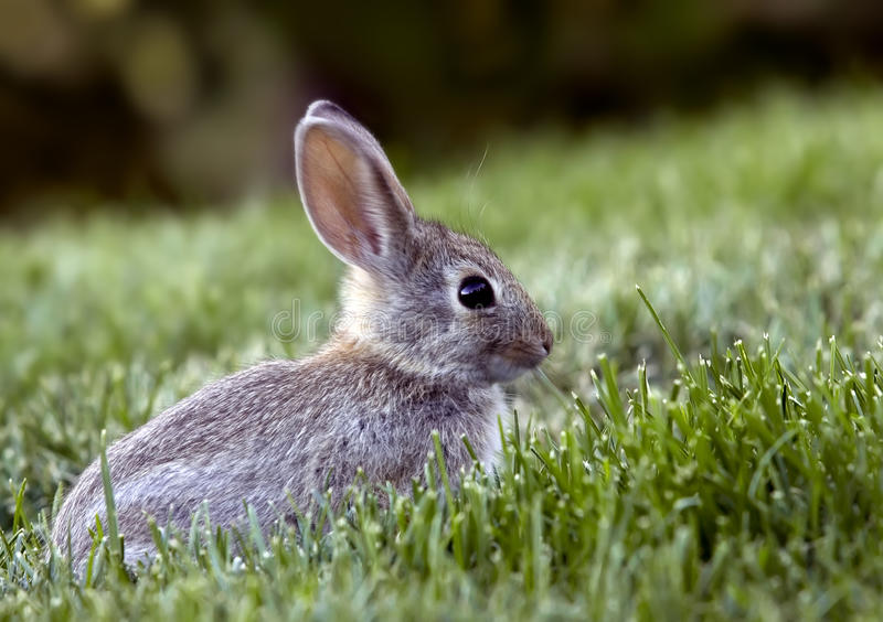 Cottontail βουρτσών κουνέλι δυτι