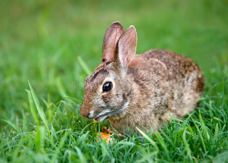 Download Cottontail Bunny Rabbit Eating Carrot Stock Photo - Image of cute, grass: 28799230