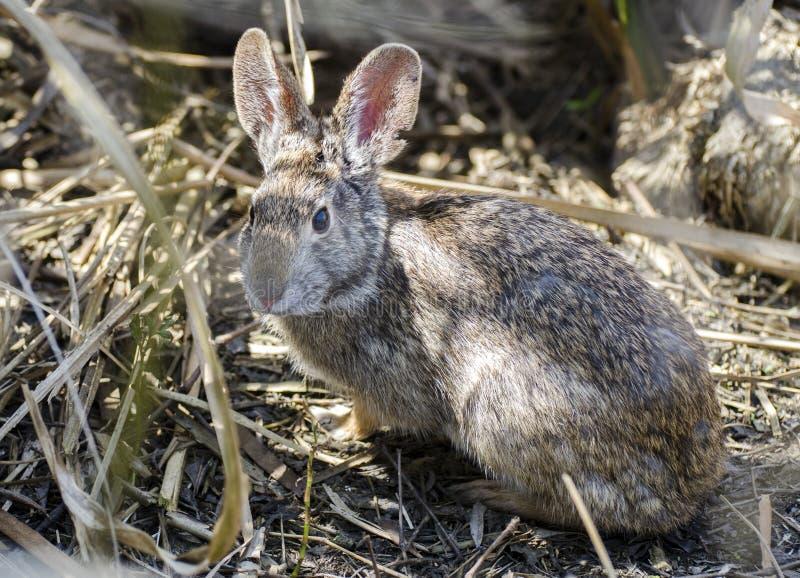Cottontail królik przy sawanny Krajowym rezerwat dzikiej przyrody, Południowa Karolina obraz royalty free