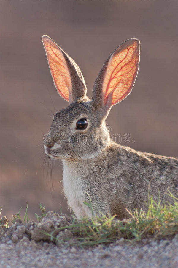 Download Cottontail Rabbit stock image. Image of blood, eyes, bunny - 10152427