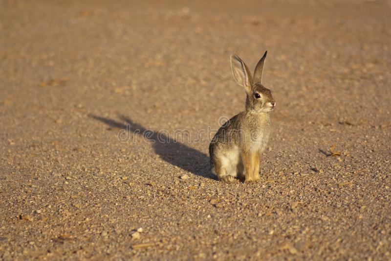 Download Cottontail Rabbit stock image. Image of alert, holiday - 10205615
