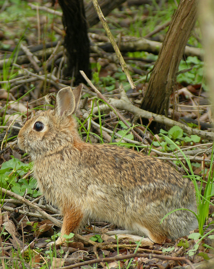 Download Cottontail Rabbit stock photo. Image of woods, cottontail - 112130