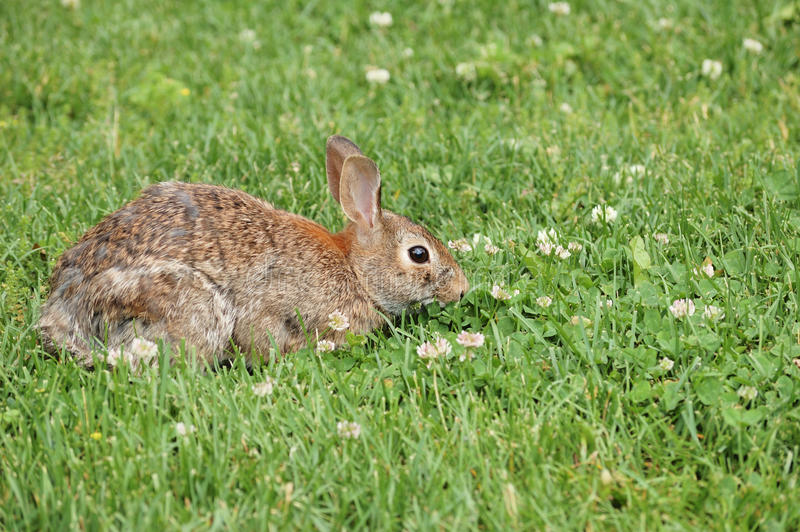 Download Cottontail Rabbit stock photo. Image of animal, brown - 19905176