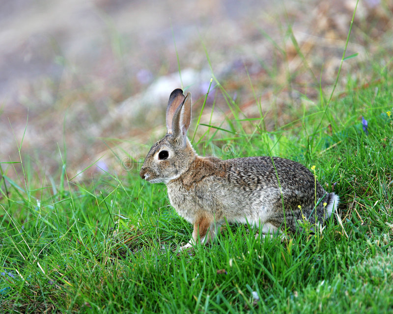 Download Cottontail Rabbit stock image. Image of bunny, rabbit - 4796011