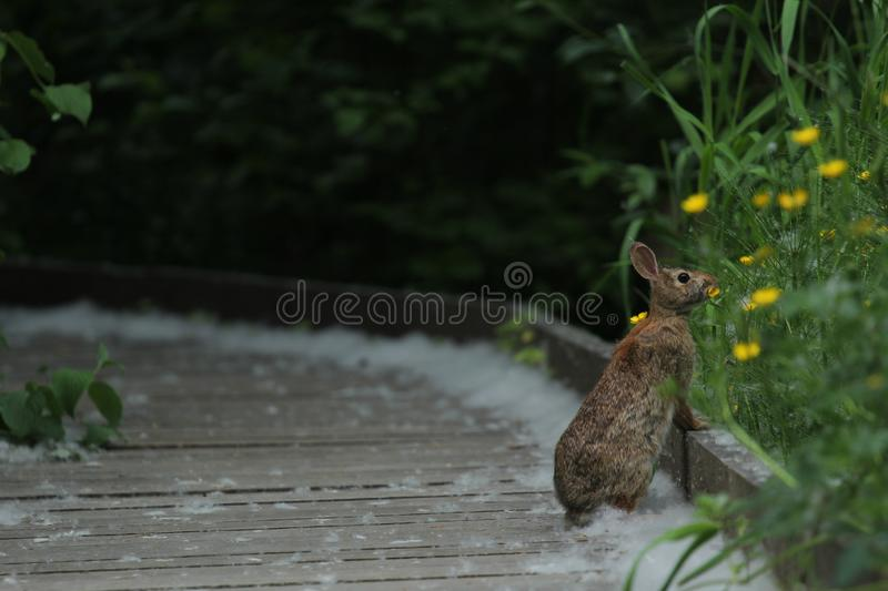 Cottontail rabbit on a wooden path stock photo