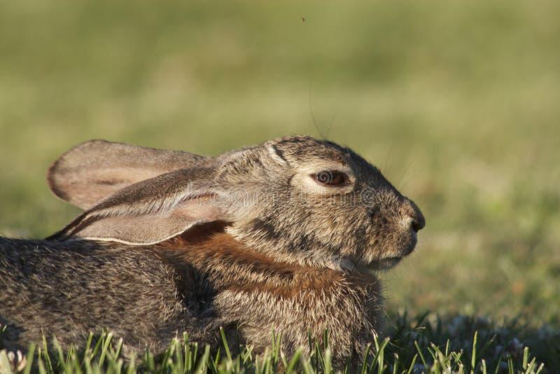 Download Cottontail Rabbit Portrait stock image. Image of cottontail - 20433113