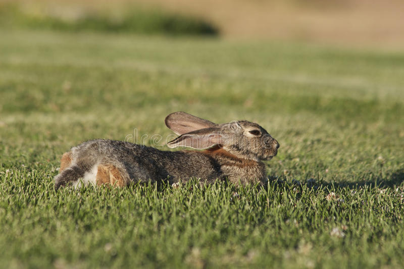 Download Cottontail Rabbit Resting stock photo. Image of nature - 20433068