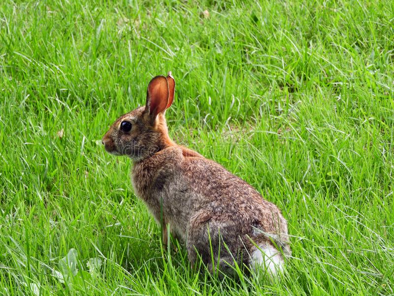 Cottontail Rabbit sits motionless in grassy field. Cottontail rabbits are among the most common of our state's mammals. Two species of cottontails exist stock photography
