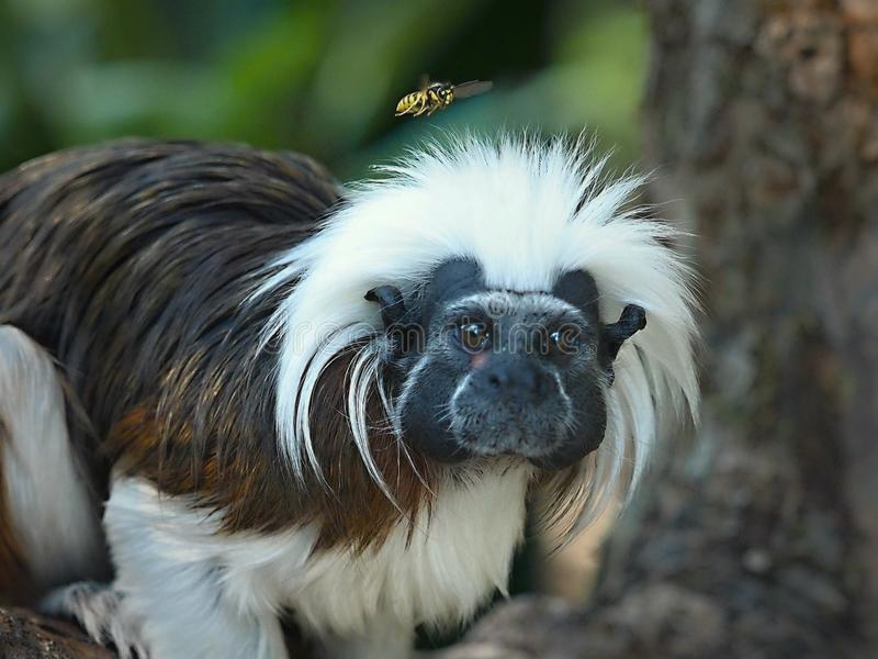 The Cottontop Tamarin Saguinus oedipus, also known as the Pinché Tamarin, is a small New World monkey weighing less than 1kg. The Cottontop Tamarin Saguinus stock photography