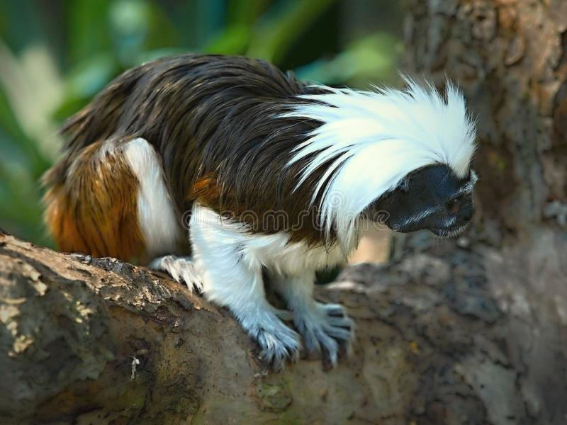 The Cottontop Tamarin Saguinus oedipus, also known as the Pinché Tamarin, is a small New World monkey weighing less than 1lb. It is found in tropical forest stock images