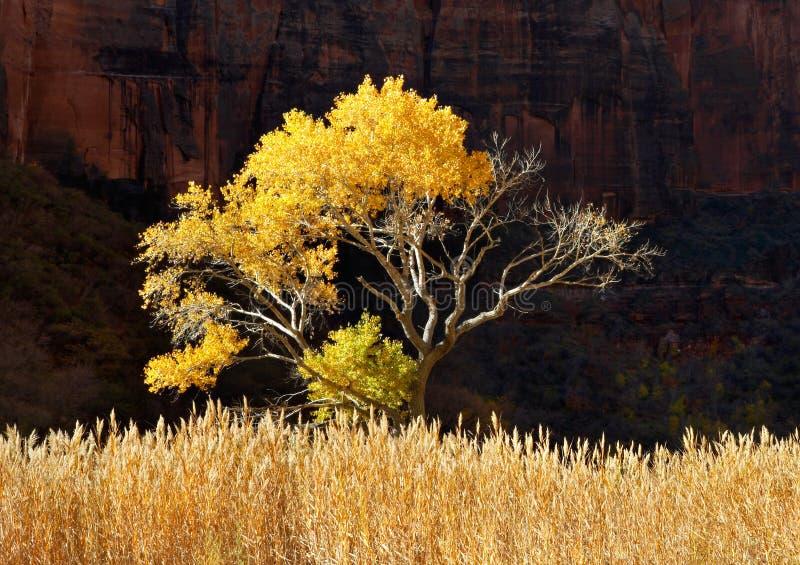Cottonwood di Zion fotografia stock libera da diritti