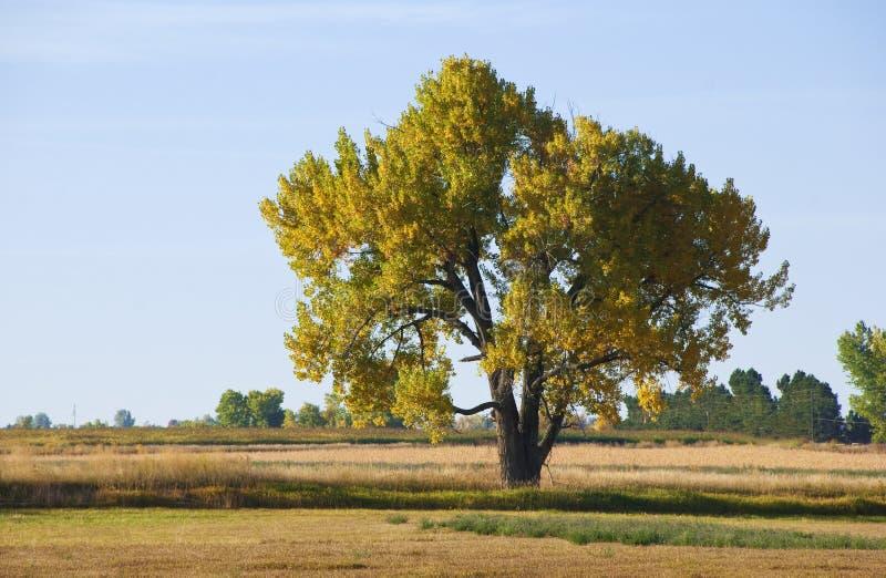 Cottonwood maestoso di autunno immagini stock