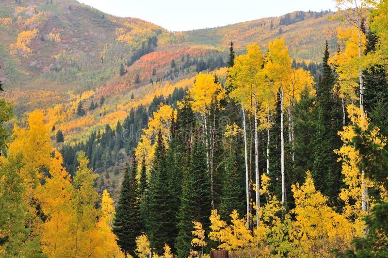 Cottonwood nas montanhas foto de stock