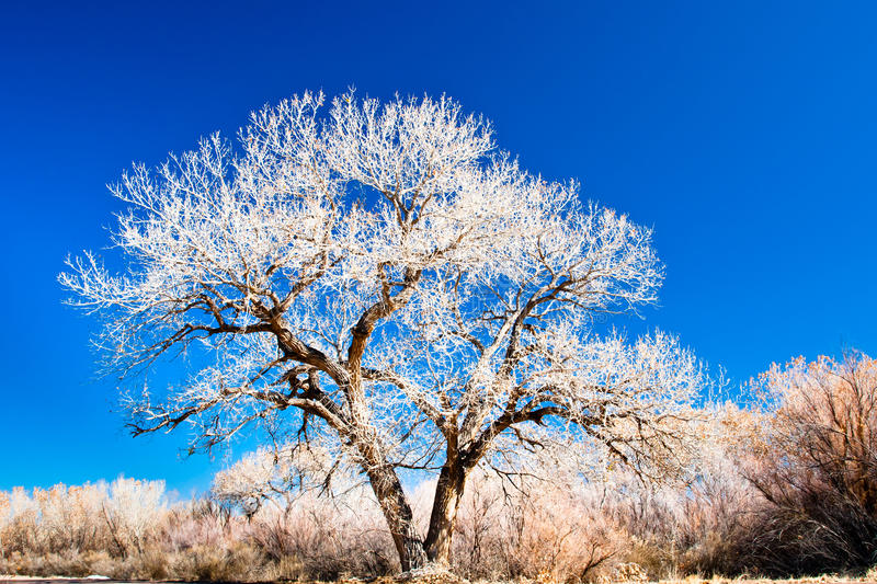 Cottonwood Tree. Stark Cottonwood Tree in Winter Against Clear Blue Sky royalty free stock images