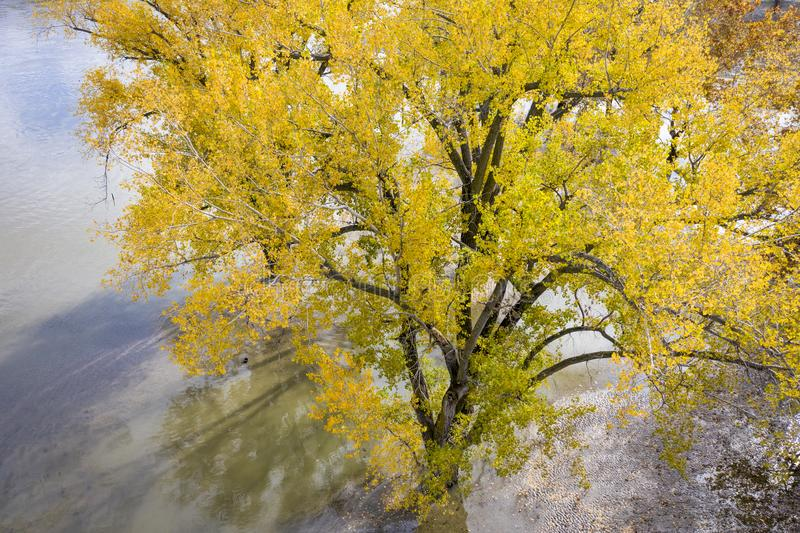Cottonwood tree and flooded Missouri River. Cottonwood tree in fall colors on the shore of flooded Missouri River at Brownville, Nebraska, aerial perspective stock images