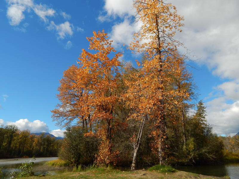 Cottonwood trees in fall stock images
