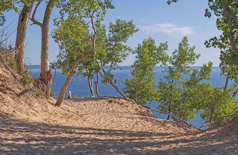 Cottonwood Trees Holding on in a Sand Dune stock image