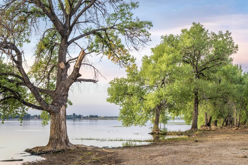 Cottonwood trees on a lake beach stock photos