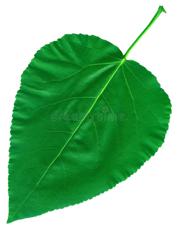 Cottonwood verde grande da folha fotos de stock royalty free