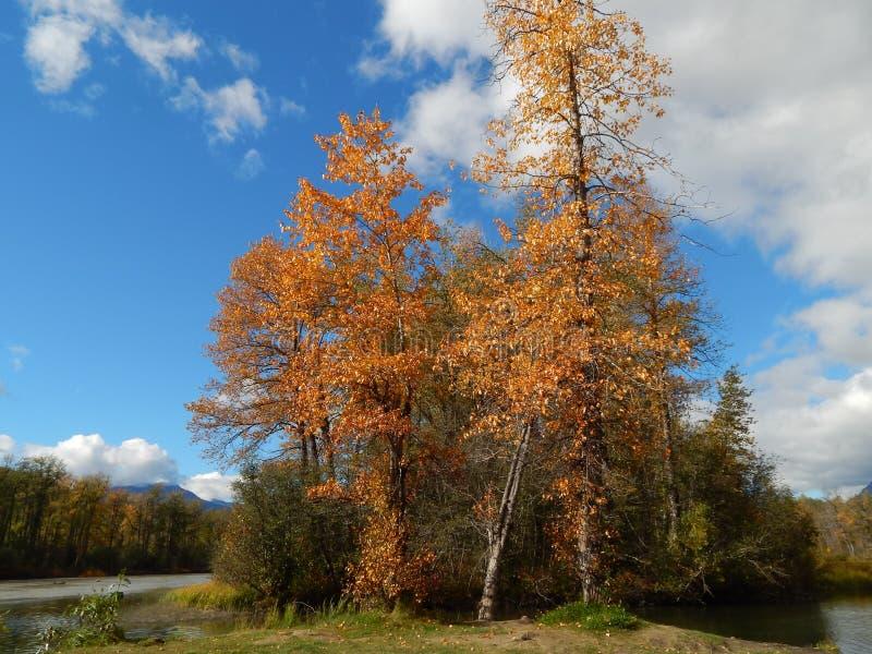 Cottonwoodbomen in daling stock afbeeldingen