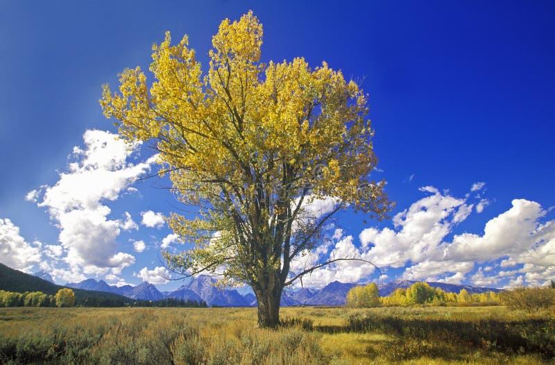 Cottonwoodboom in dalingskleuren, het Nationale Park van Grand Teton, Jackson, WY royalty-vrije stock fotografie