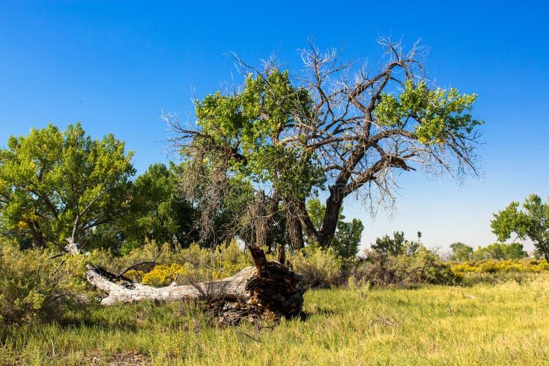 Cottonwoods muertos y de muertes en Utah rural fotografía de archivo libre de regalías