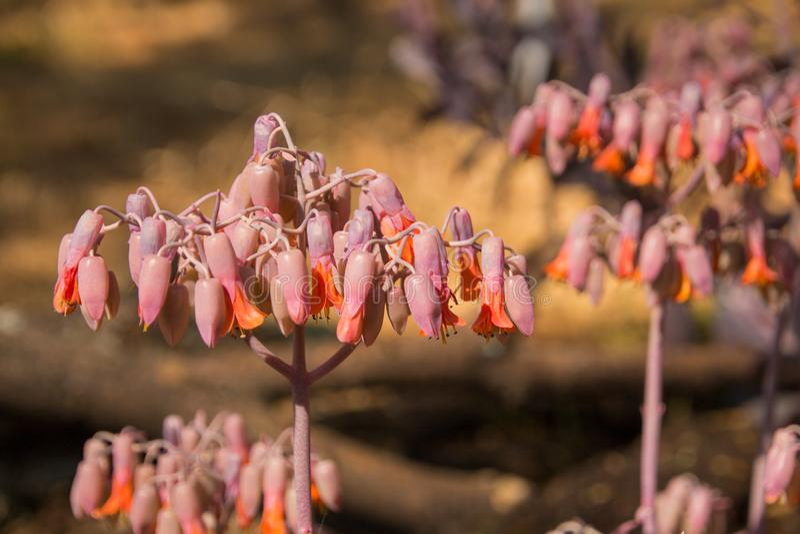 Cotyledon αυτιών χοίρων ` s πορτοκαλιά succulent λουλούδια εγκαταστάσεων Orbiculata στοκ φωτογραφία με δικαίωμα ελεύθερης χρήσης