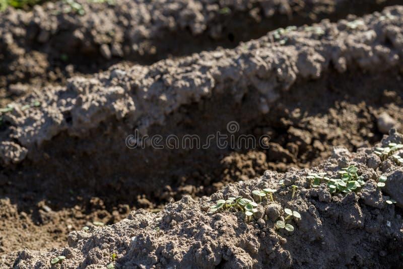 Cotyledon σουσαμιού στοκ φωτογραφία
