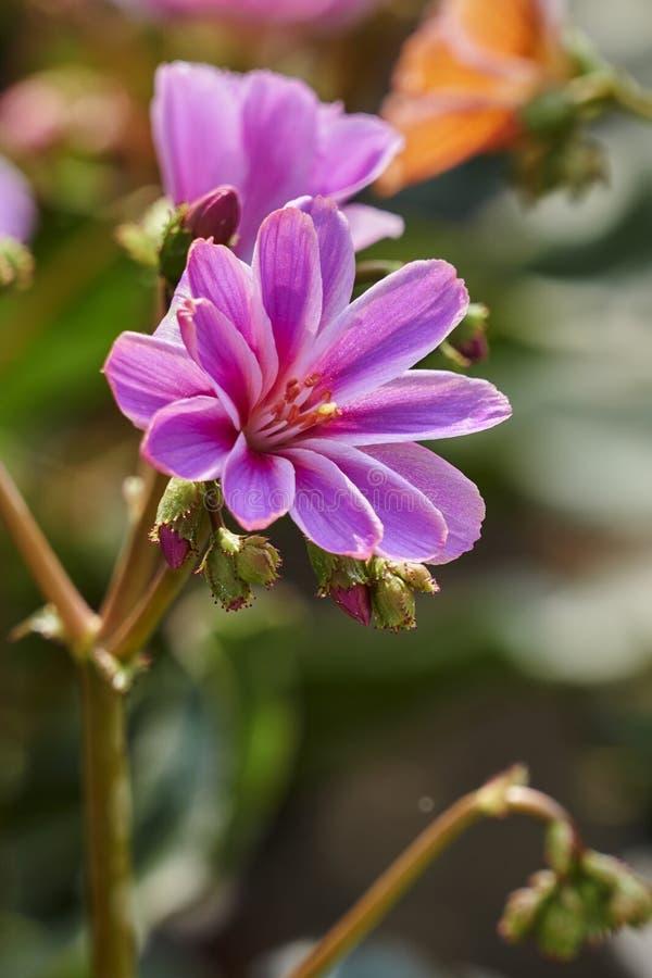 Cotyledon Lewisia λουλούδι στοκ φωτογραφίες