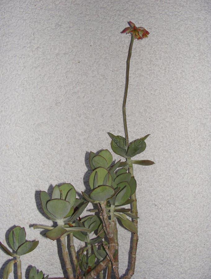 Cotyledon succulent εγκαταστάσεις orbiculata στην άνθιση στοκ φωτογραφία με δικαίωμα ελεύθερης χρήσης