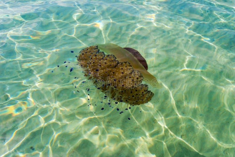 Cotylorhiza地中海水母在希腊的海岸的附近海 免版税图库摄影