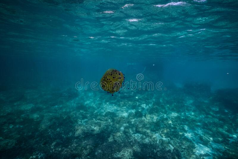 Cotylorhiza tuberculata fried egg jellyfish jellyfish underwater in beautiful clear water in a bay of Palma de Mallorca Spain, royalty free stock image