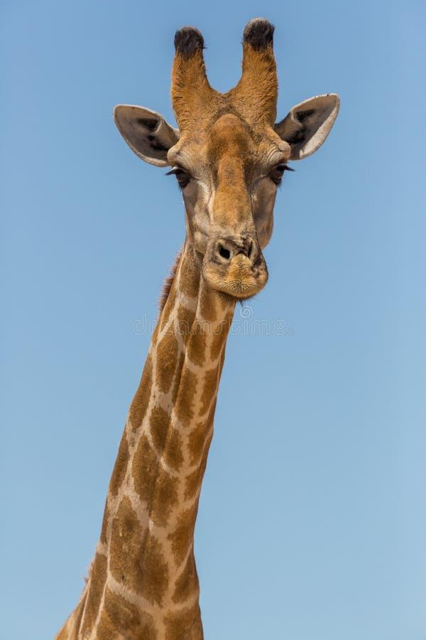 Cou de girafe de portrait de vue de face et tête masculins, ciel bleu photo stock