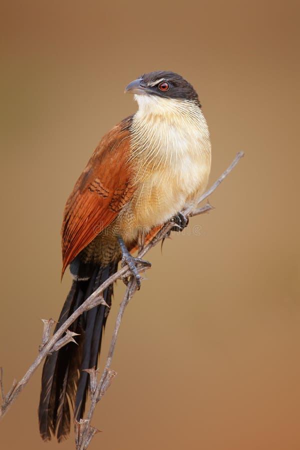 coucal的Burchell的(Rainbird) 图库摄影