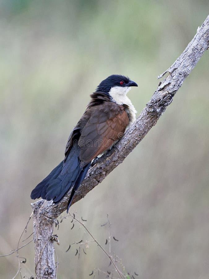 Coucal Centropus Senegals senegalensis lizenzfreie stockfotos