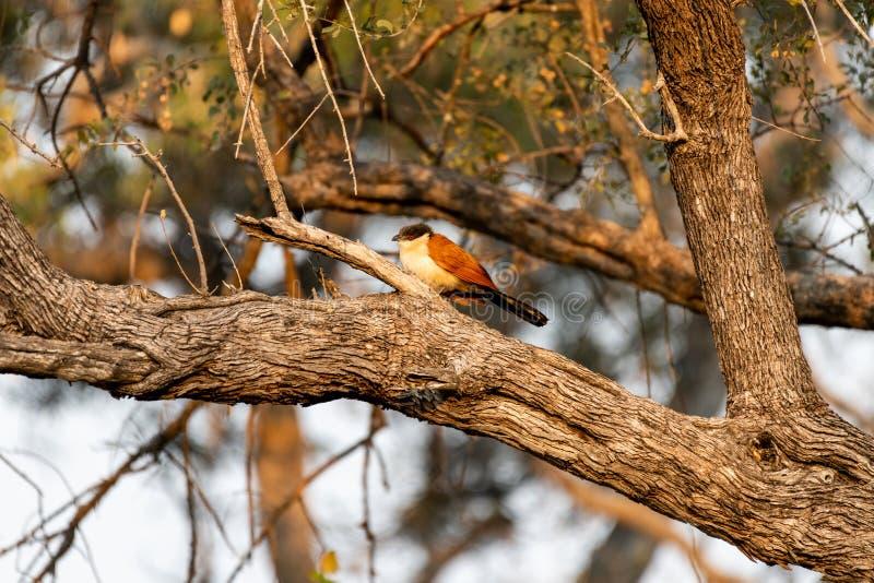 coucal Sitzen Senegals auf einem Baum in Botswana stockbild