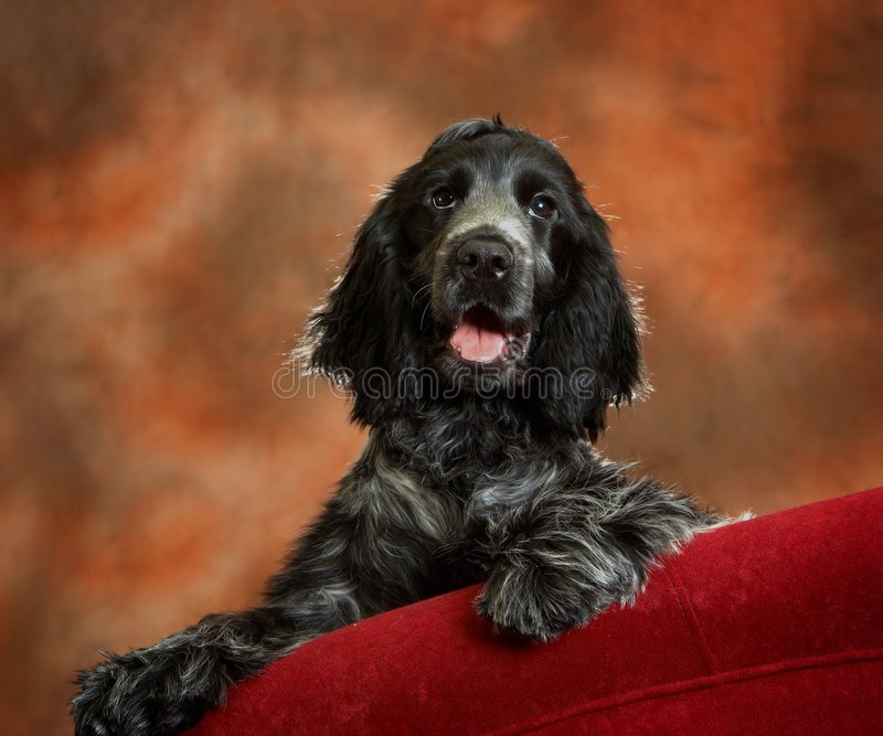 Download On the couch stock image. Image of lovely, spaniel, adorable - 2244653
