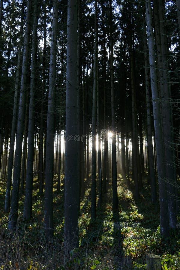 Coucher de soleil brillant par des sapins créant une étoile du soleil, parc naturel de Solling, Allemagne photo libre de droits