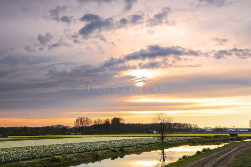 Coucher du soleil au-dessus d'un gisement de fleur néerlandais avec des tulipes photographie stock libre de droits