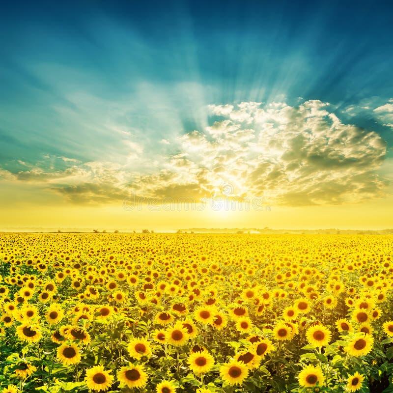 Coucher du soleil au-dessus de champ avec des tournesols photo stock