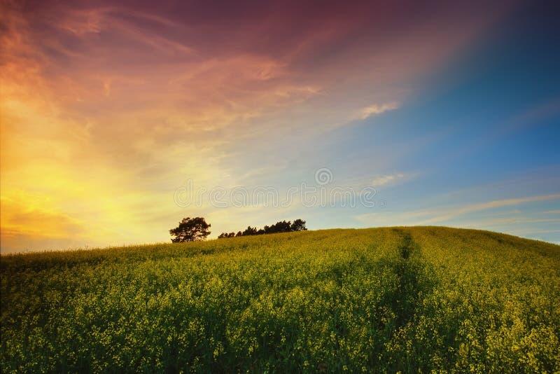 Coucher du soleil au-dessus de gisement de graine de colza image libre de droits